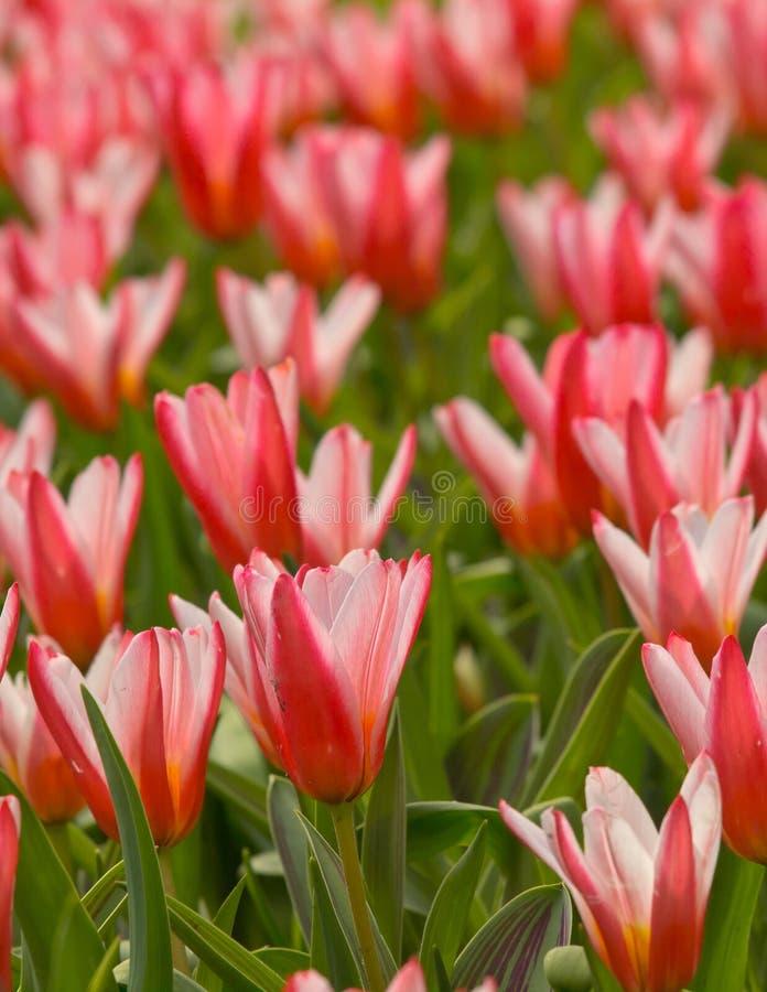 Cama de flor de tulipas de florescência foto de stock