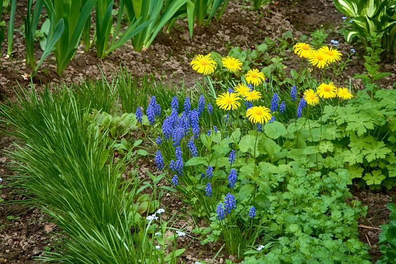 A cama de flor decorativa com muscari e o Doronicum azuis floresce fotografia de stock