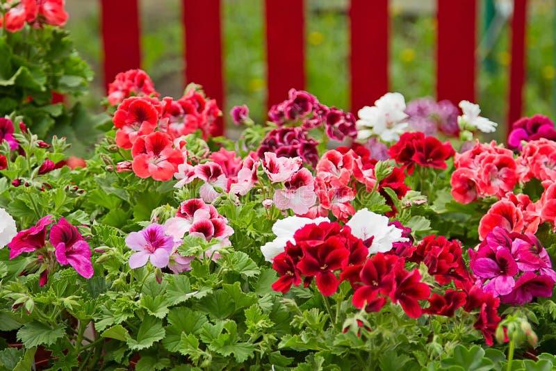 Cama de flor do Petunia foto de stock royalty free