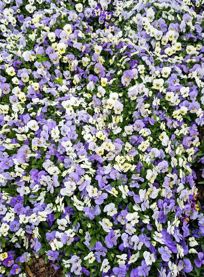 Cama de flor multicolora de los pensamientos foto de archivo libre de regalías