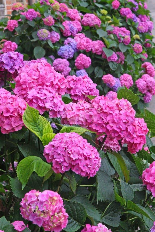 Cama de flor por completo de las flores púrpuras de la hortensia y rosa y azul fotos de archivo