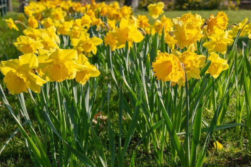 Cama de flor por completo de narcisos en primavera imágenes de archivo libres de regalías