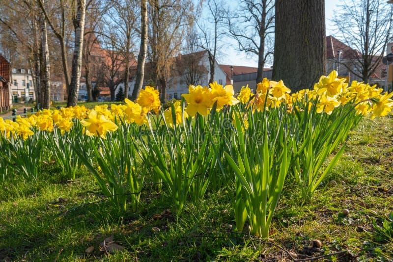 Cama de flor por completo de narcisos en primavera fotos de archivo
