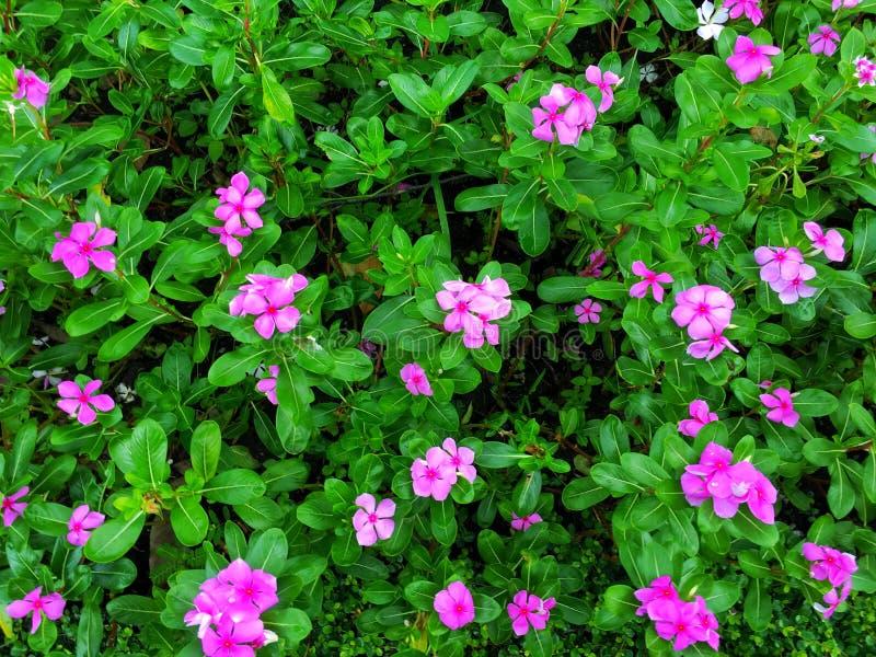 Cama de flores cor-de-rosa fotografia de stock royalty free