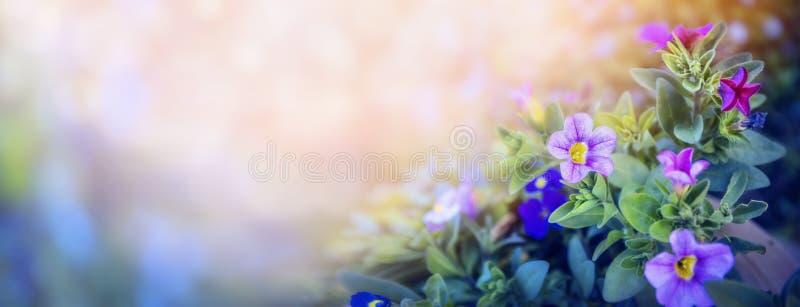 Cama de flores púrpura de la petunia en el fondo borroso hermoso de la naturaleza, bandera para el sitio web con concepto del jar fotos de archivo
