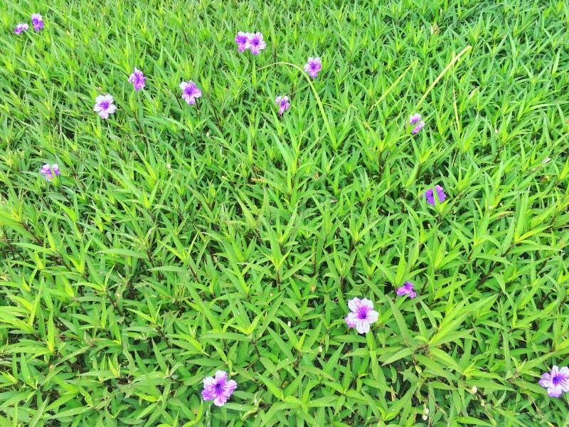 Cama de flores pequenas, violetas foto de stock royalty free