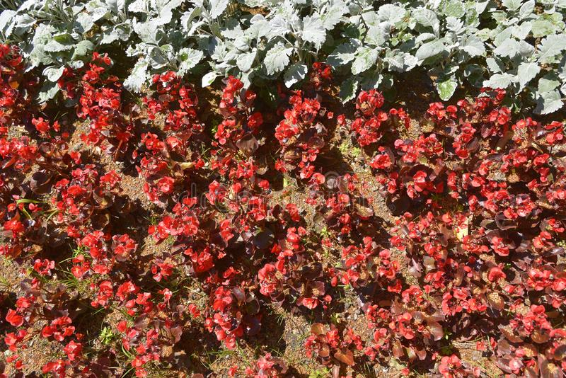 Cama de flores vermelha da begônia fotos de stock royalty free