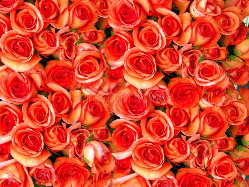 Cama de rosas fotografía de archivo
