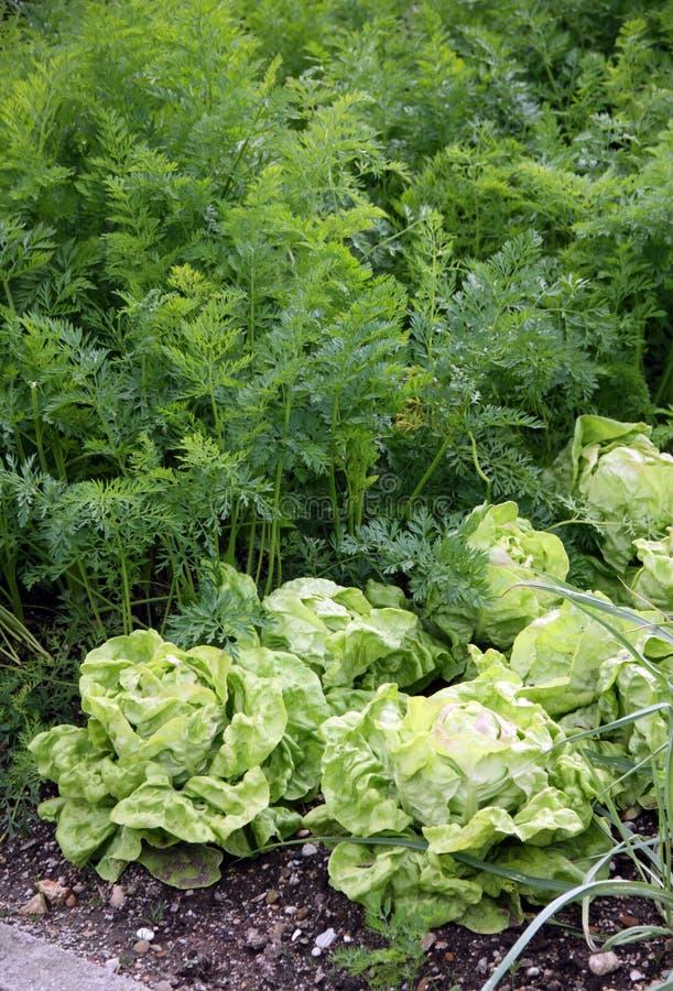Cama del jardín de Vehetable con la ensalada y las zanahorias imágenes de archivo libres de regalías