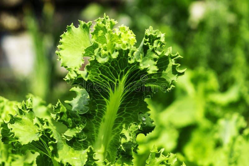 Cama do jardim com salada, close-up Folhas frescas da alface fotografia de stock