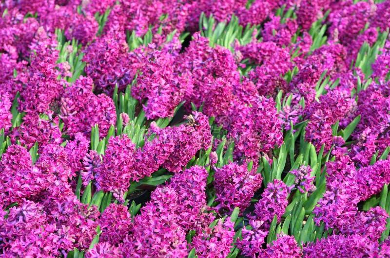Cama dos Hyacinths imagens de stock royalty free