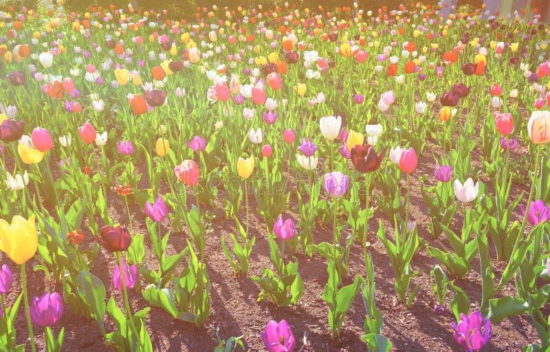 Cama florescida da cor com as tulipas no centro da cidade EUA de Philadelphfia imagens de stock