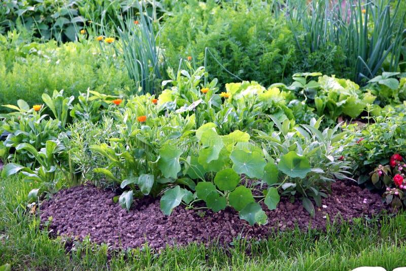 Cama orgânica do jardim vegetal fotografia de stock royalty free