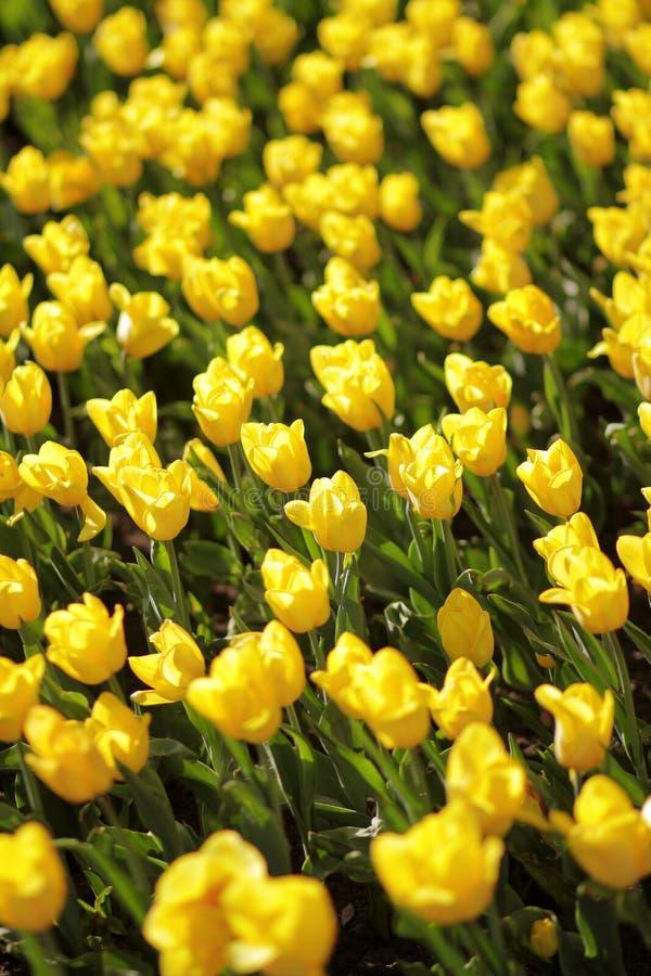 Cama sin fin de tulipanes amarillos foto de archivo