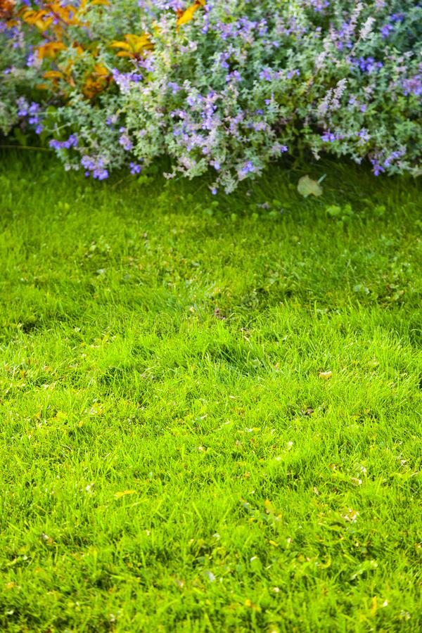 Cama verde del césped y de flor con las flores azules fotos de archivo libres de regalías
