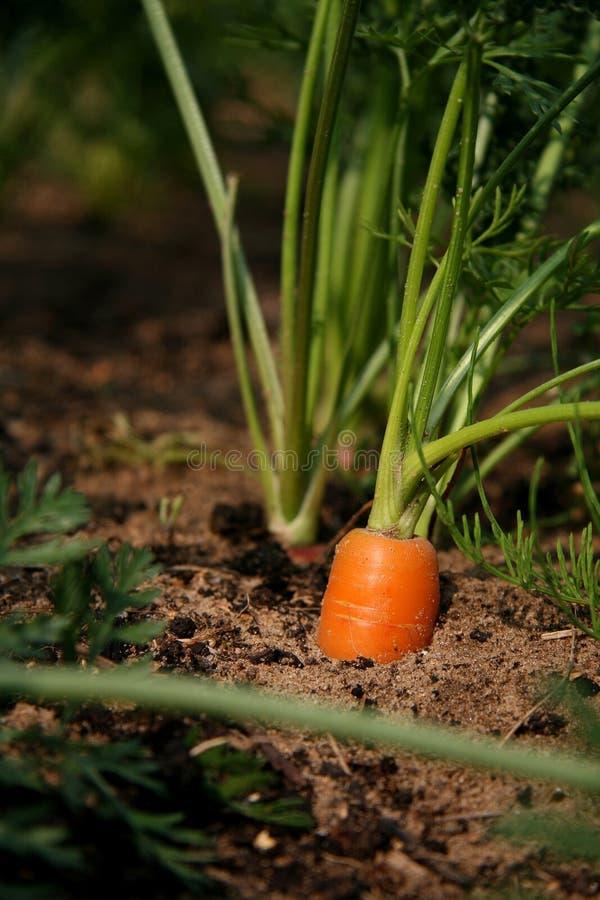 Cama vermelha da cenoura foto de stock