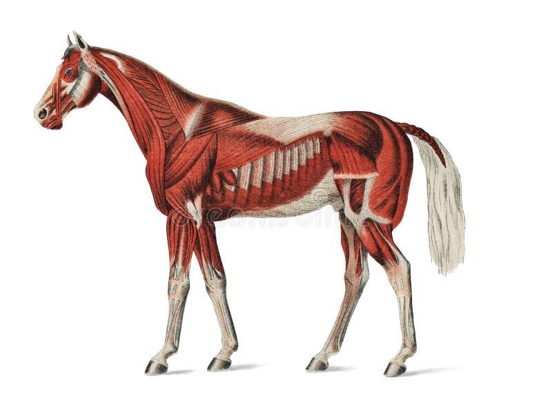Camada superficial de músculos por um artista desconhecido 1904, uma ilustração médica do sistema muscular equino Digital aumenta ilustração do vetor