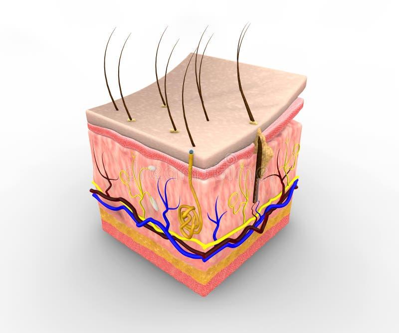 Camadas da pele ilustração stock