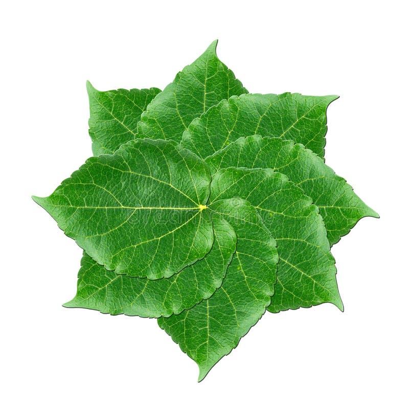 Camadas de folhas verdes da amoreira no fundo branco fotos de stock