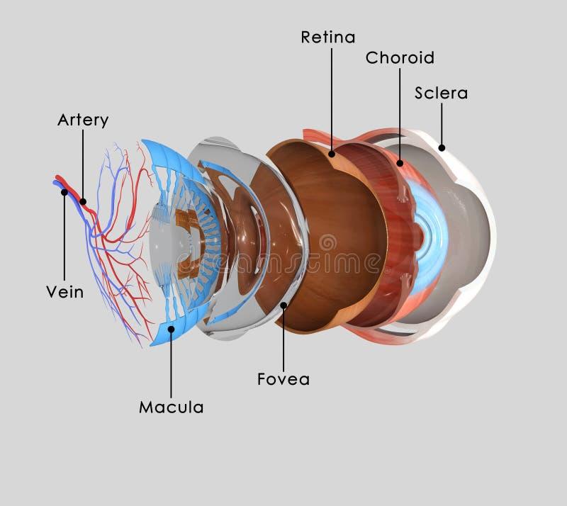 Camadas do olho ilustração stock