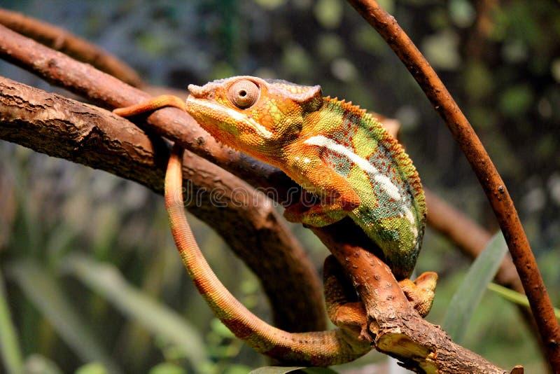 Camaleão da pantera imagens de stock