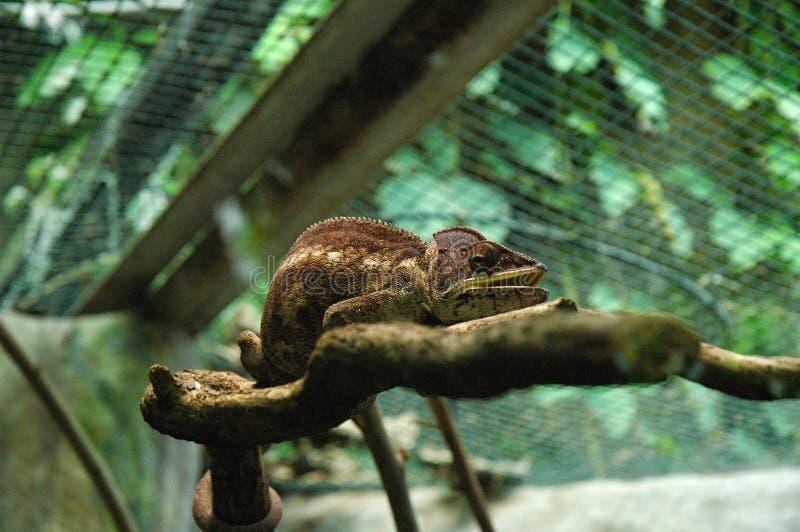 Camaleão de Brown foto de stock