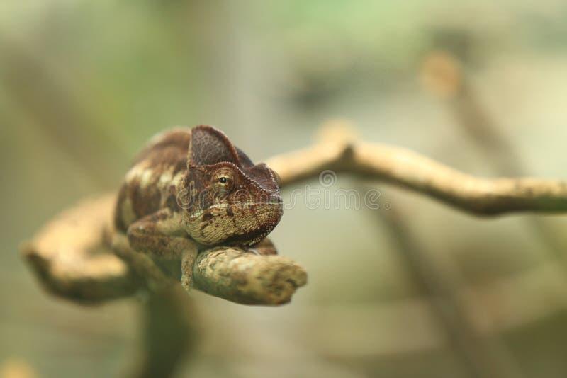 Camaleão de Madagáscar do gigante foto de stock
