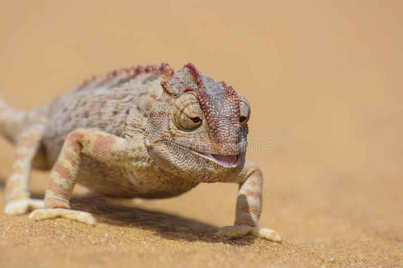 Camaleão de Namaqua, namaquensis do Chamaeleo no deserto de namib foto de stock royalty free