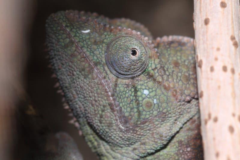 Camaleão gigante malgaxe imagens de stock