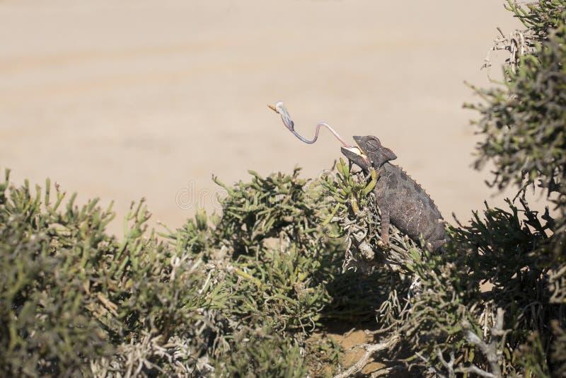 Camale?o na ?rvore no parque nacional de Dorob nafta Deserto adaptado Comer com a l?ngua que cola para fora imagem prolongada fotografia de stock royalty free