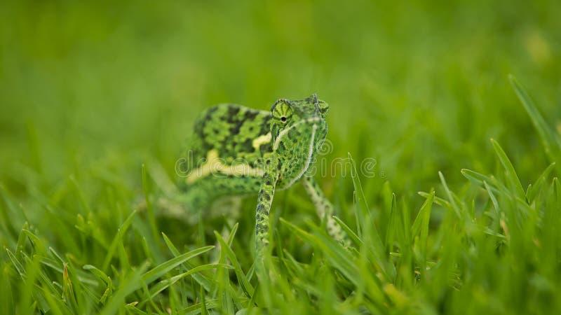 Camaleão na grama grossa imagens de stock