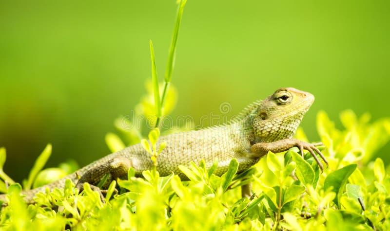 Camaleão na grama verde imagens de stock royalty free