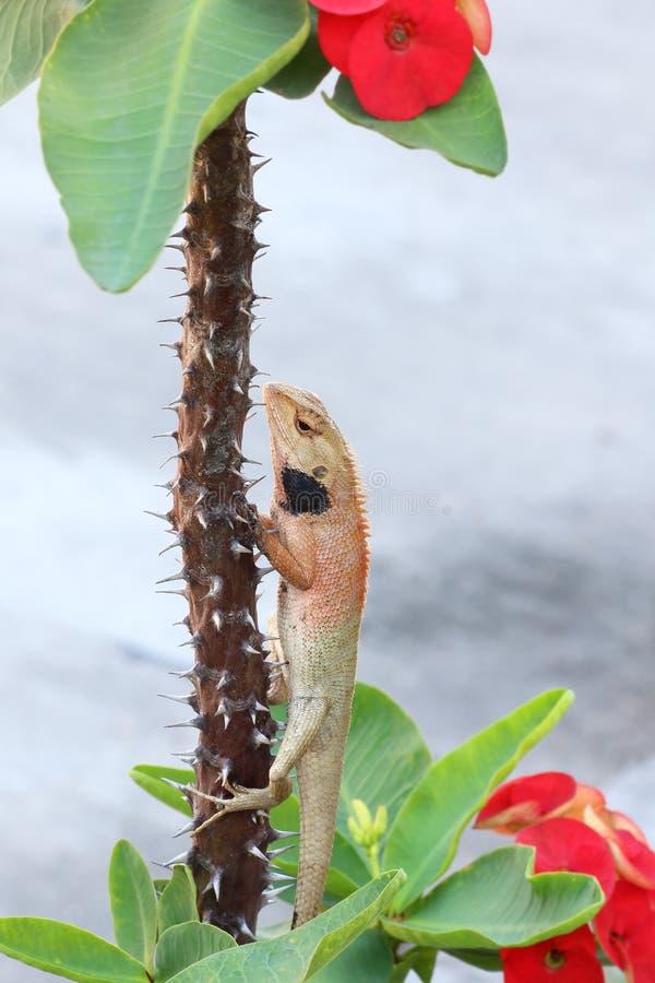 Camaleão pequeno na árvore da probabilidade de intercepção Sião imagem de stock royalty free