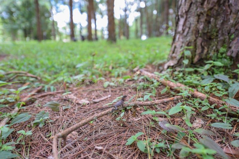 Camaleão pequeno na madeira no parque nacional foto de stock royalty free
