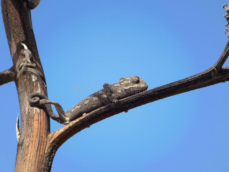 Camaleão preto pequeno que senta-se na árvore com fundo do céu azul foto de stock royalty free