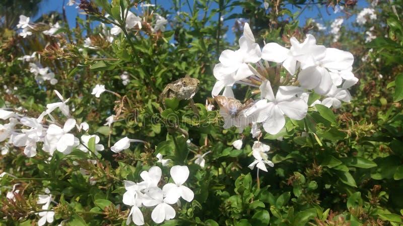 Camaleão que desengaça uma borboleta pequena fotos de stock royalty free