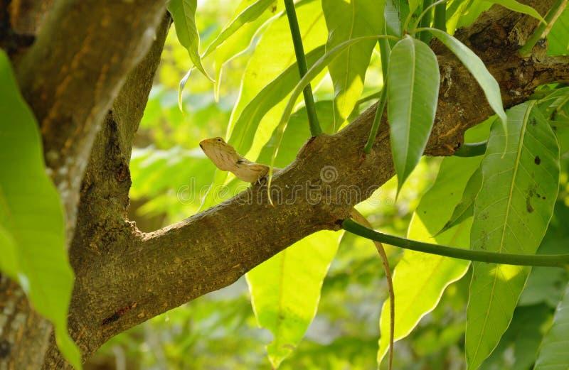Camaleão que pendura na árvore de manga no jardim imagem de stock royalty free
