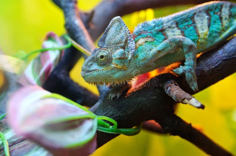 Camaleão que senta-se em um ramo de árvore Mimetismo sob um ambiente colorido foto de stock royalty free