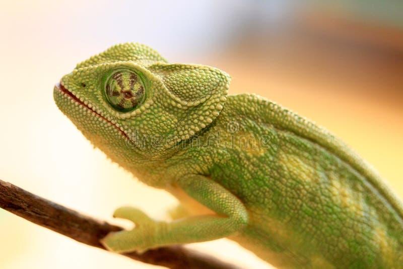 Camaleão verde em um ramo fotografia de stock royalty free
