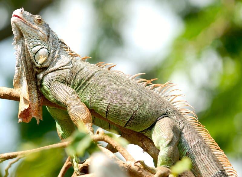 Camaleón foto de archivo