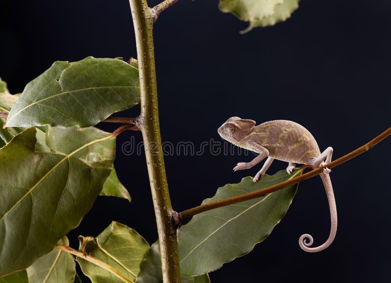 Download Camaleón imagen de archivo. Imagen de lagarto, camuflaje - 42442421