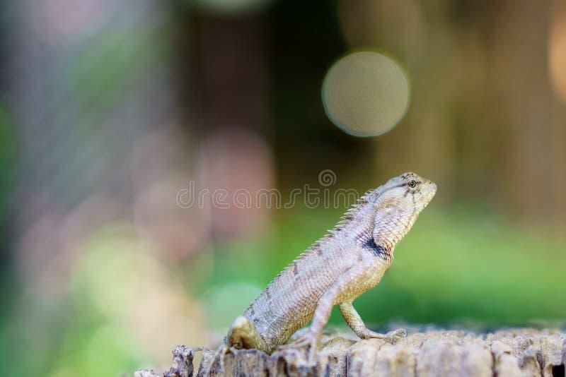 Camaleón asiático que sube en la madera que mira algo imagen de archivo