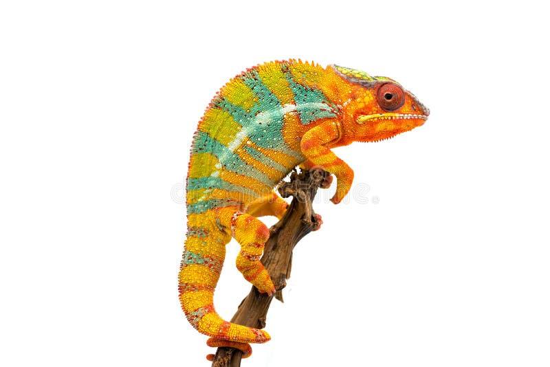Camaleón azul amarillo de la pantera del lagarto aislado en el fondo blanco imagen de archivo libre de regalías