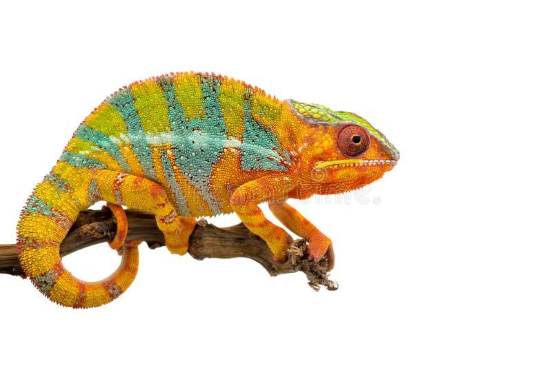 Camaleón azul amarillo de la pantera del lagarto aislado en el fondo blanco foto de archivo libre de regalías