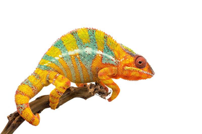 Camaleón azul amarillo de la pantera del lagarto aislado en el fondo blanco foto de archivo