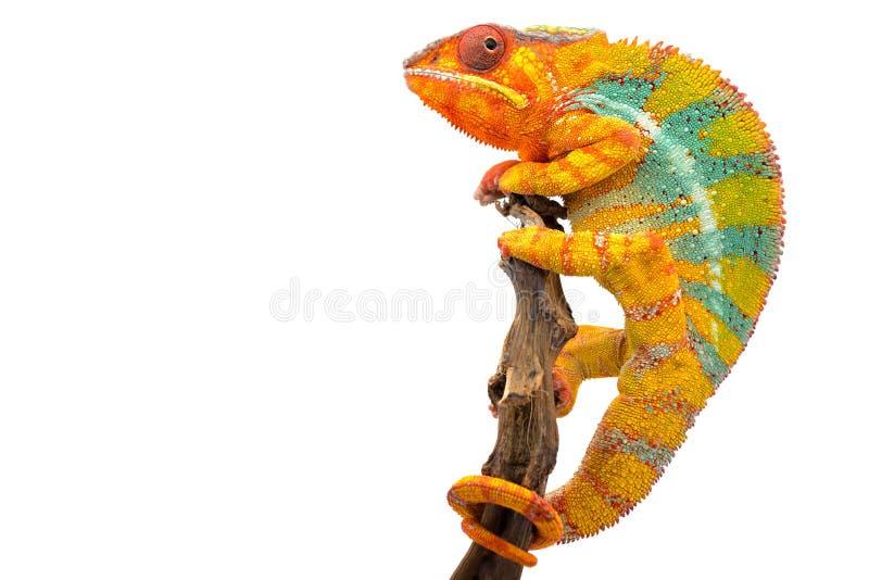 Camaleón azul amarillo de la pantera del lagarto aislado en el fondo blanco fotos de archivo libres de regalías