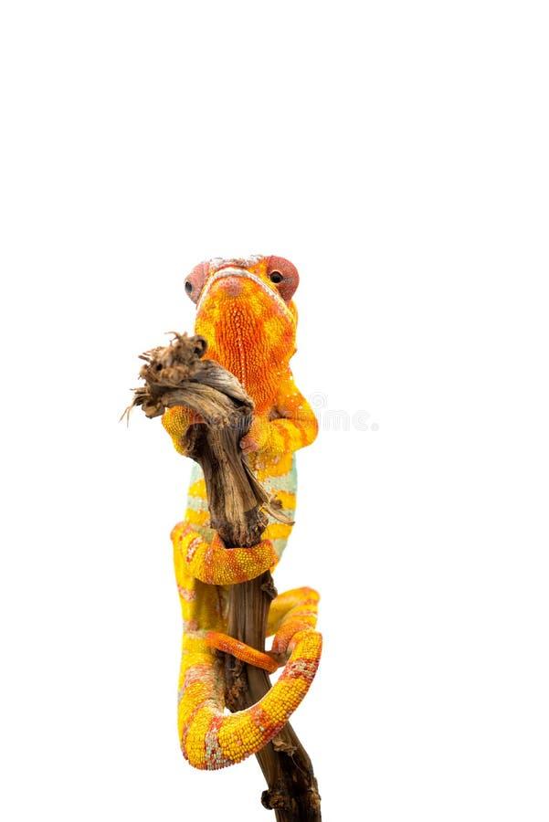 Camaleón azul amarillo de la pantera del lagarto aislado en el fondo blanco fotografía de archivo