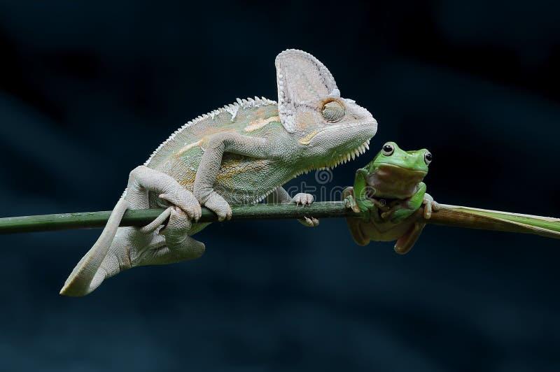 Camaleón con la rana regordeta, rana, rana arbórea, imágenes de archivo libres de regalías