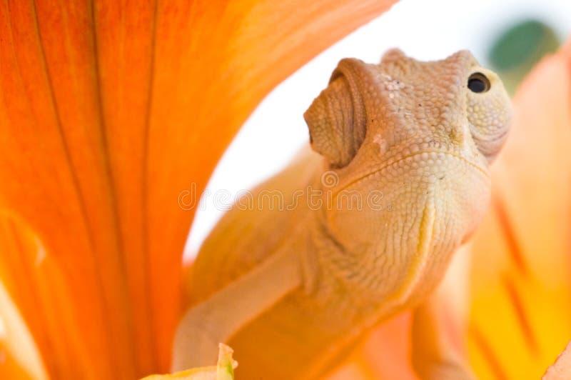 Camaleón en la flor fotos de archivo