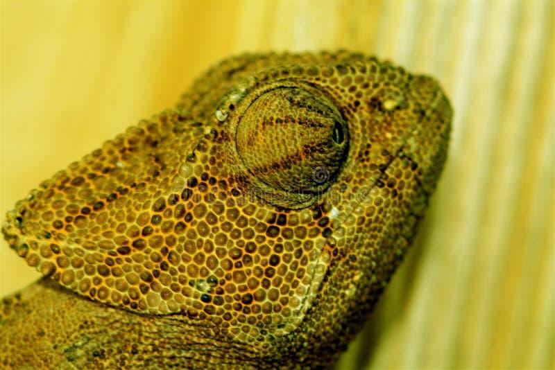 Camaleón en la madera fotografía de archivo libre de regalías